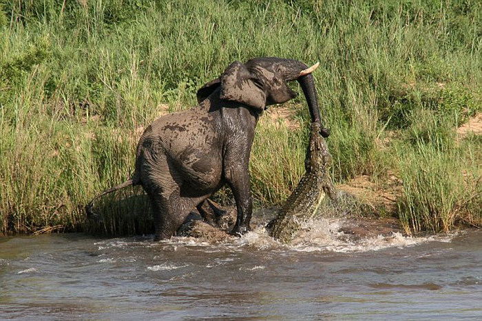 This Crocodile Surprise Attacked An Elephant And It Wasn't Pretty