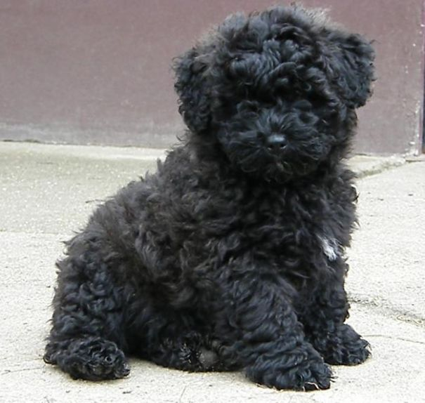 These Puppies Look A Lot Like Teddy Bears