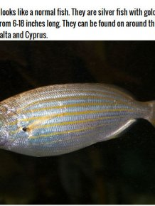 If You Accidentally Eat This Fish It Could Cause You To Hallucinate
