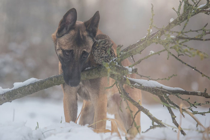 Somehow This Dog And Owl Became Best Friends