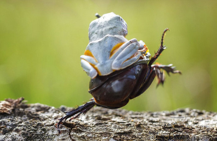 Frog Riding A Beetle