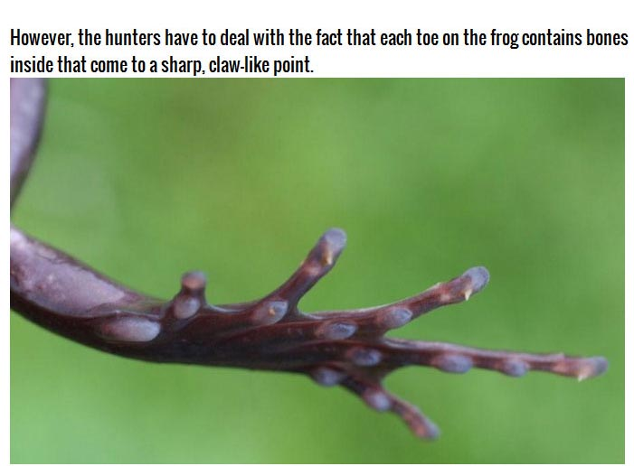 This Frog Does Something Frightening To Protect Itself