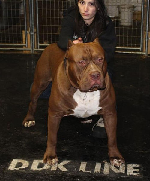 This Pitbull Is Gigantic
