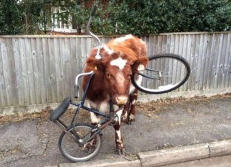 This Cow Has No Idea How That Bike Got There