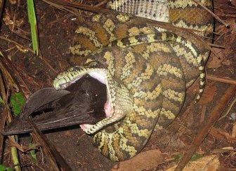 Python Devours A Bat For Dinner