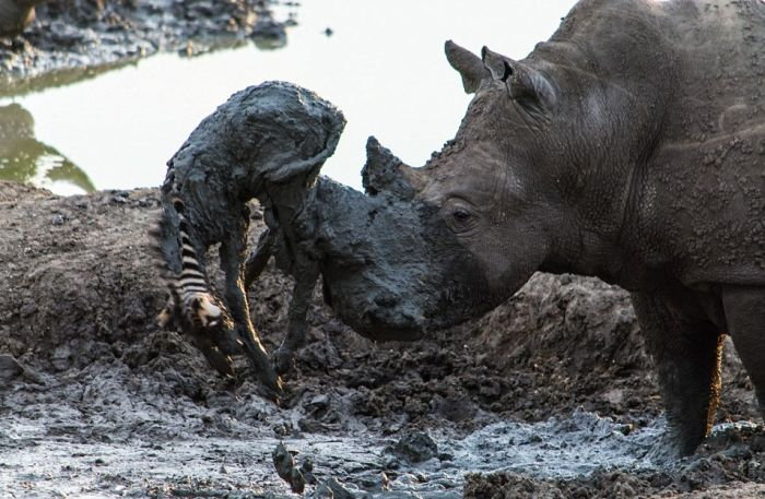This Massive Rhino Saved A Zebra That Was Stuck In The Mud