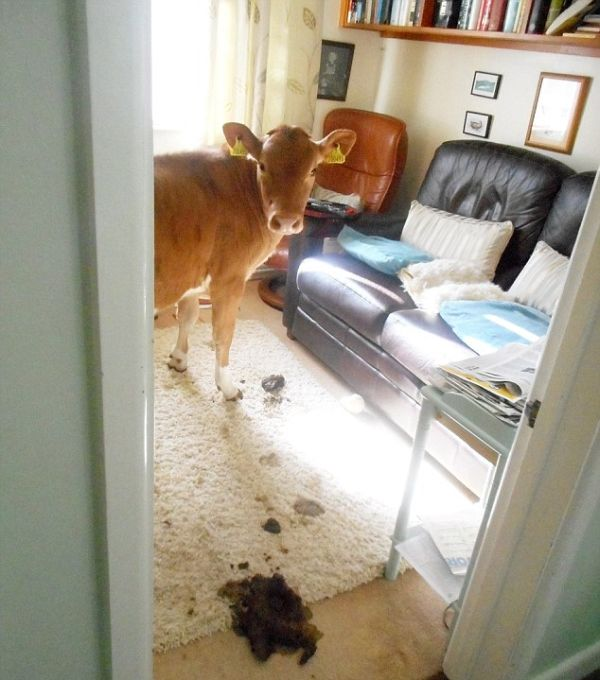 Pet Cows Break Into The House And Drop A Bomb