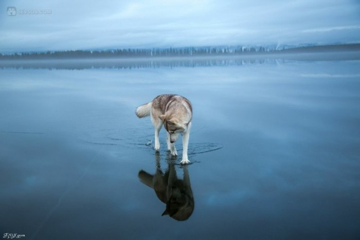 Siberian Husky Goes For A Walk On A Frozen Lake