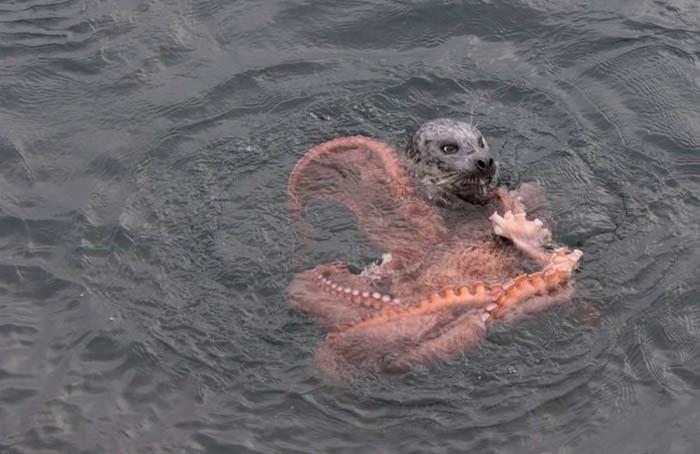 Harbor Seal Vs Giant Octopus