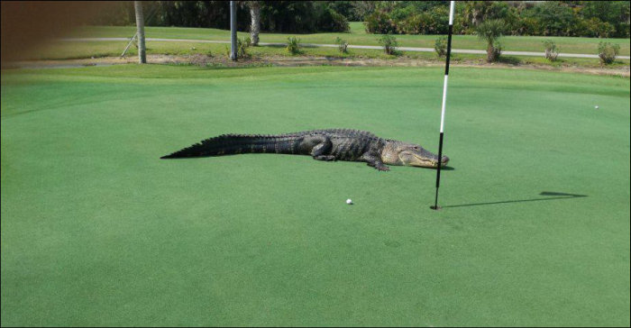 Giant Alligator Ruins Golf Game
