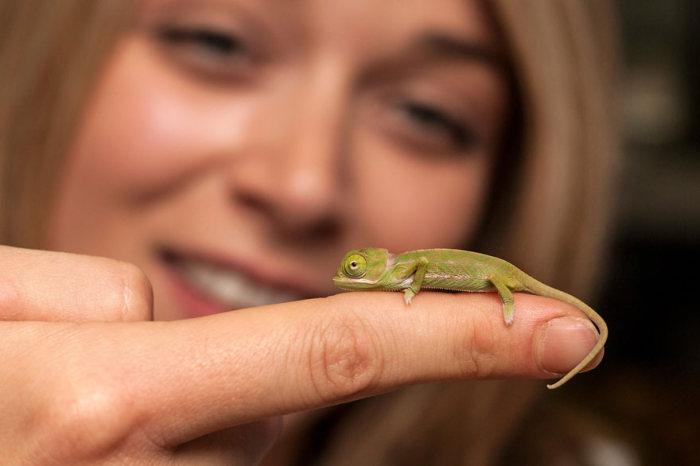 Tiny Baby Chameleons