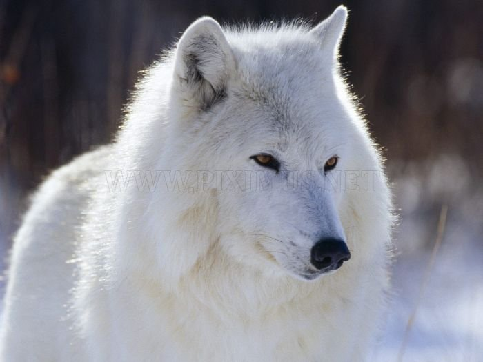 Photos of Wolfs