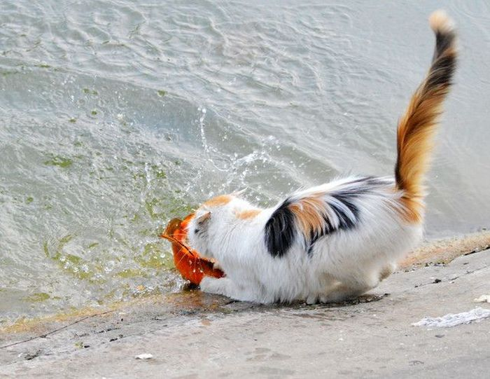Cat Catches A Huge Goldfish For Dinner