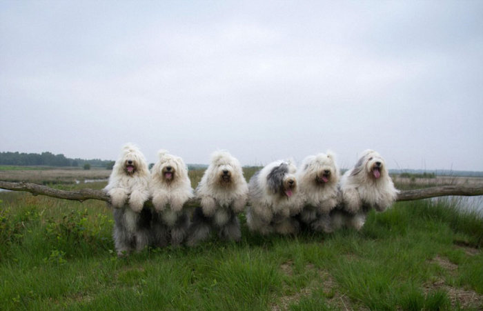 These Sheepdog Sisters Just Love Taking Pictures Together