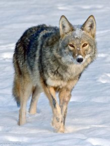 Wild Coyote Finds A Toy And Falls In Love With It