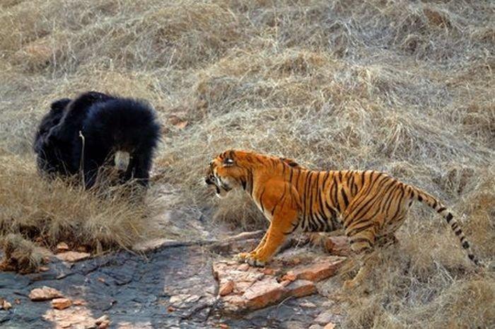 Tiger vs Mother Bear