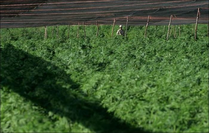 Marijuana Plantation in Mexico