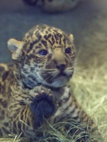 The San Diego Zoo Gets A New Baby Jaguar