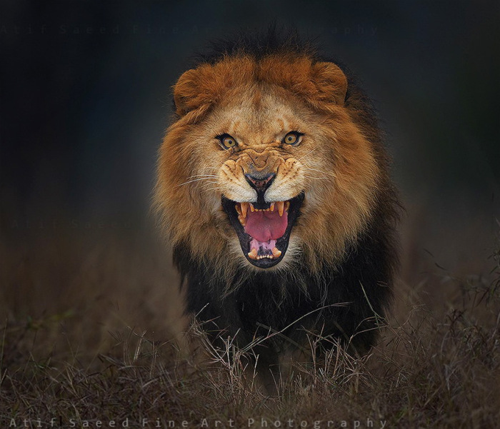 Photographer Almost Gets Attacked By A Lion While Taking A Picture
