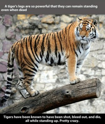 Fun And Fascinating Facts About Tigers