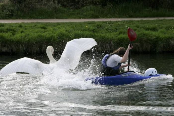 Meet The Mean Swan That Terrorizes People At The Cambridge River