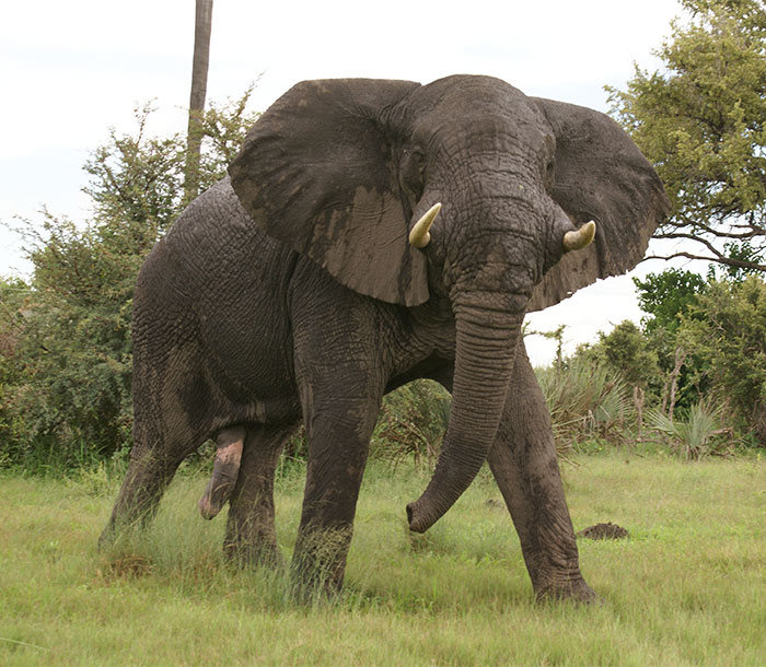 Ivory Hunter Gets Trampled To Death By An Elephant
