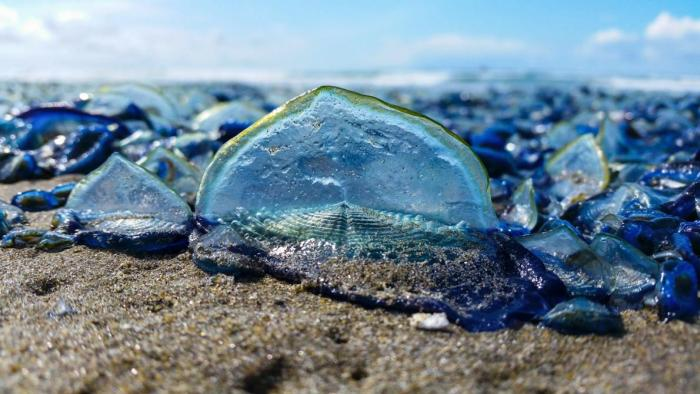 Billions Of Blue Jellyfish Wash Up On The West Coast