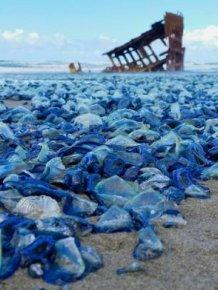 Billions Of Blue Jellyfish Wash Up On The West Coast