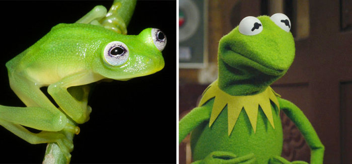 Real Life Kermit The Frog Discovered In Costa Rica