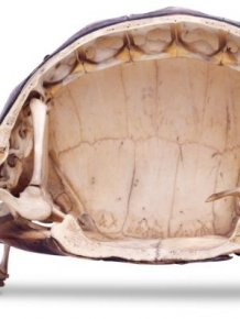 What The Inside Of A Tortoise Actually Looks Like