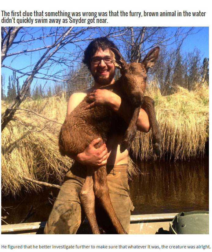 This Brave Man Saved A Baby Moose That Was Drowning In An Alaska River