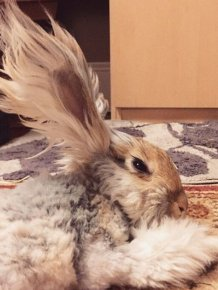 Meet Wally The Bunny With Ears That Look Like Wings