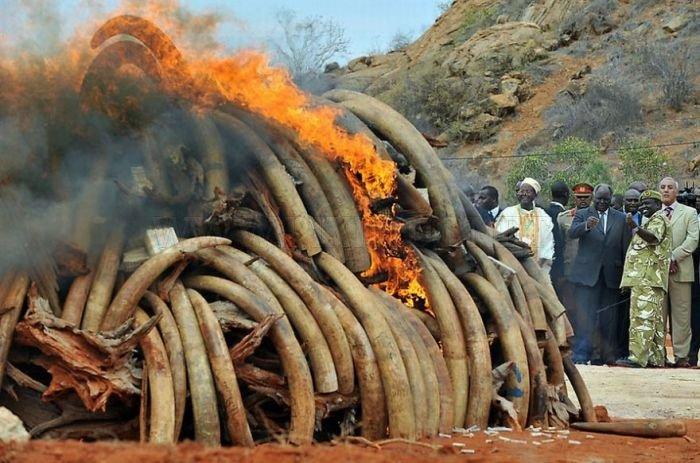 Ivory Burned in Kenya