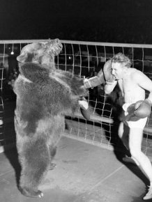Bear Boxing with a Man