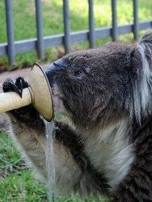 Koalas Cooling Down