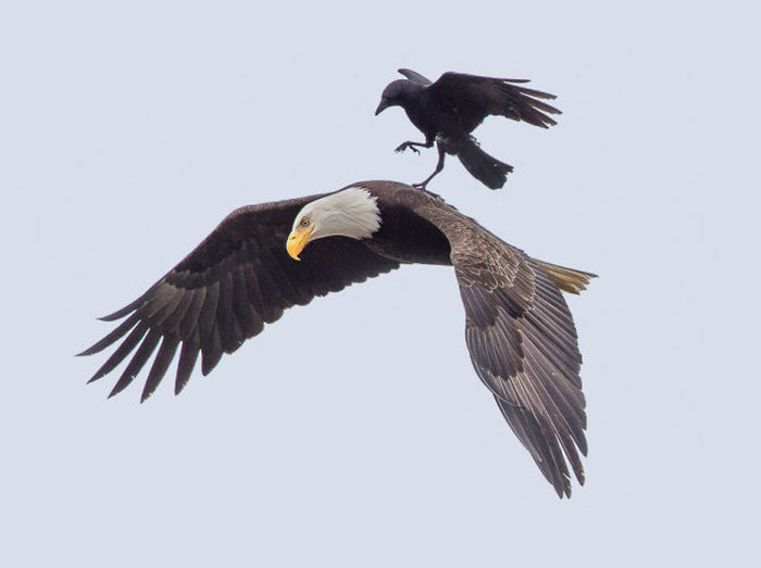 This Crow Hi-Jacked An Eagle And Went For A Ride