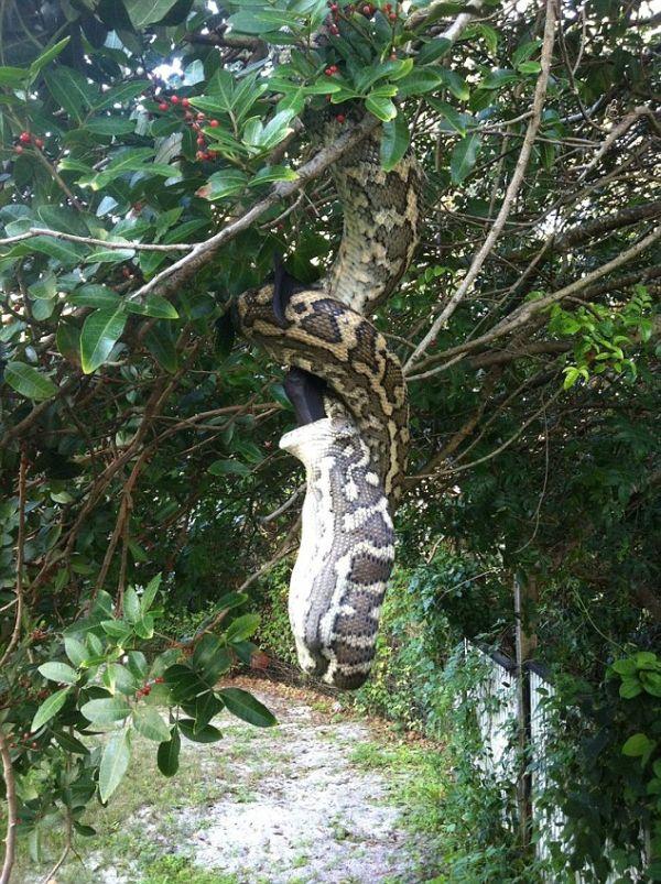 Huge Python Swallows Bat in Australia