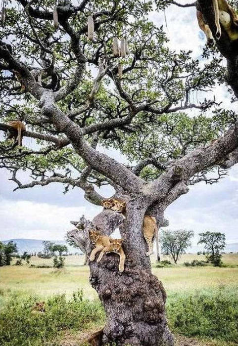 How Many Lions Can You Fit In One Tree?