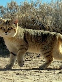 If You Want A Cat That Stays A Kitten Forever You Need A Sand Cat