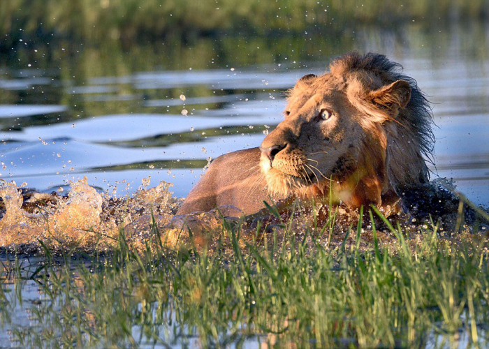 Lion Swims For His Life After Encountering A Crocodile In A River
