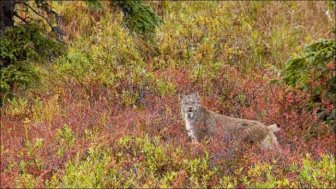 Wild Lynx Hunting