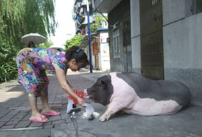 This Woman Just Wanted A Small Pet Pig But She Got So Much More