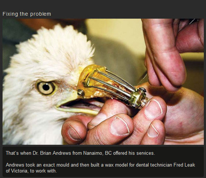 Dentist Saves Eagle By Giving Him A New Beak