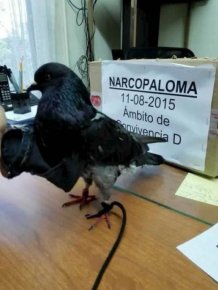 Authorities Caught A Drug Smuggling Bird At A Prison In San Jose