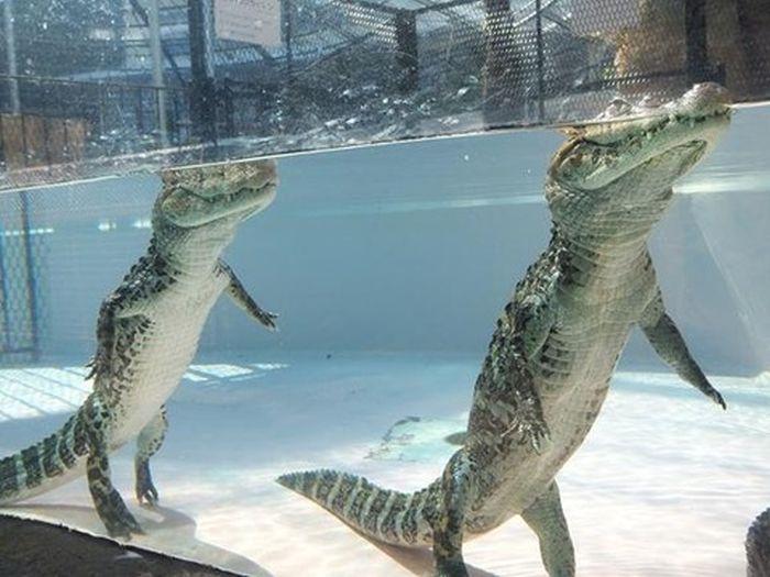 What Alligators Look Like When They Walk Underwater