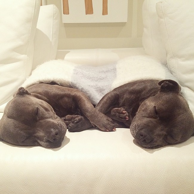 Cute Staffordshire Bull Terrier Brothers