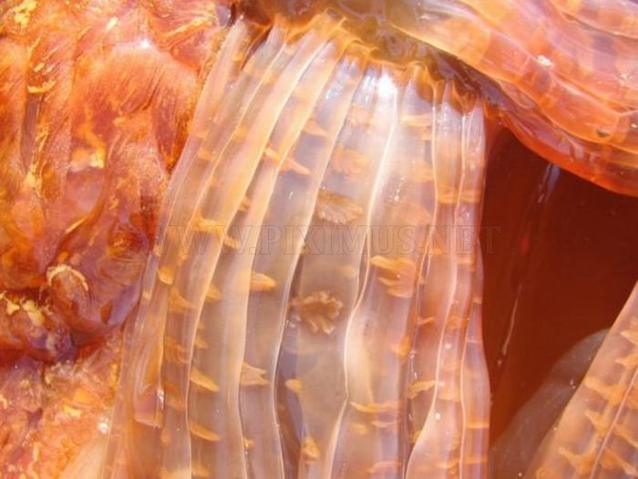 Giant Jellyfish at Kayak Point in Washington