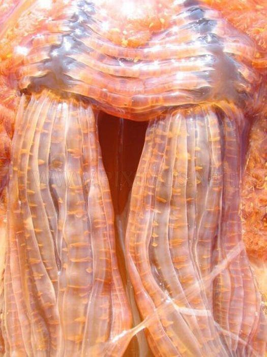 Giant Jellyfish at Kayak Point in Washington