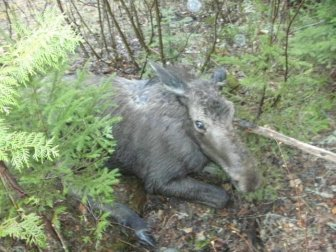Moose Yearling Rescued