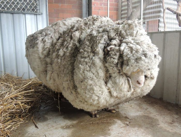 Say Hello To Chris, The World's Wooliest Sheep